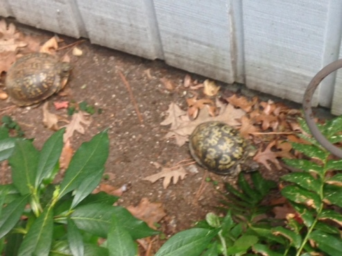 Yes, I share my house with 5 turtles. When they emerge from their winter sleep is when Spring officially begins.
